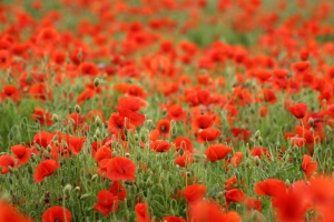 copyrightfree - poppies - alitaylor